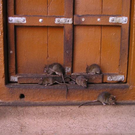 semne că ai șobolani sau șoricei